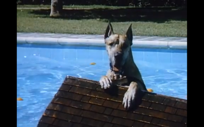A Country Coyote Goes Hollywood (1965) (Great Dane)