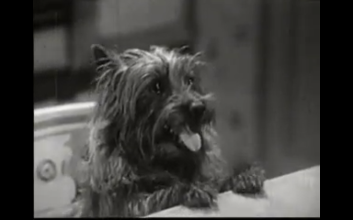 Son of the Navy (1940) (Cairn Terrier)