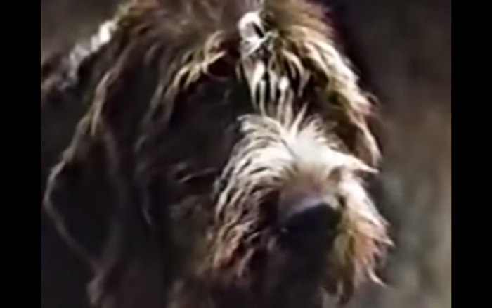 Bristle Face (1964) (Wirehaired Pointing Griffon)